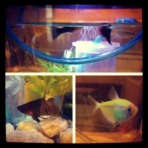 New guppies and a neon fish for momma! Giving little beta some friends!! #fish #mothersday @911flavia