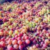 #grapes #grape #trauben #colorful #traube