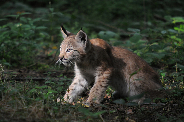 lynx lynx on Flickr.young lynx