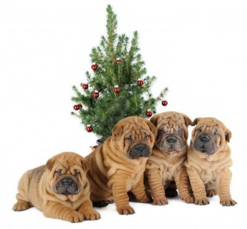 On the 8th day of Wrinkles, there were eight Shar Peis making merry.