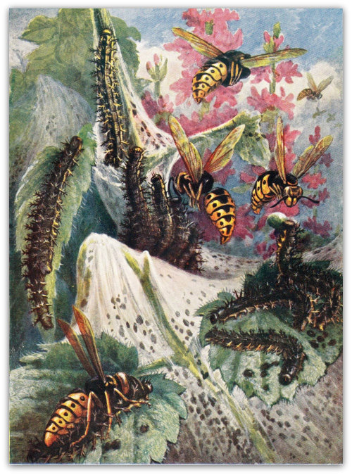 Vintage Print Entomology Illustration, Wasps Feeding their Larvae, 1953, Insects at CarambasVintage http://etsy.me/YlGKtK