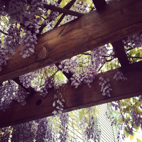 Probably my favorite plant ever. Wisteria! #wisteria #vine #plant #flowers #nature #garden #nj #newjersey #porch #spring #purple #beautiful