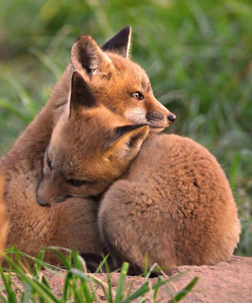 beautiful-wildlife:  Fox Cubs Cuddle
