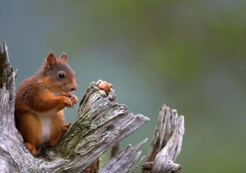 Red squirrel by Ole Petter Drangsholt .