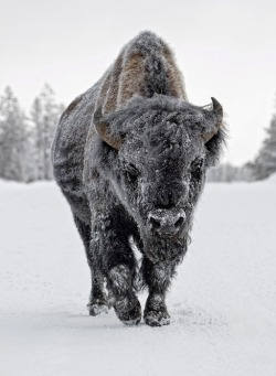 masikawa:  hopefloatson:   In the 19th Century, about 50 million bison were killed by the settlers either for their meat or fur, or as a sport. Sometimes, the settlers even wiped out thousands of herds so as to deprive the Native Americans of their meat and fur, or indirectly their livelihood. Due to this, the once enormous population of the bison reduced to a mere few hundred. The government and people of North America stepped forward to save the beast from becoming extinct. Today, there are about 200,000 bison in North America living in sanctuaries, preserves, and ranches.   How about that for a comeback.  Favorite Animal