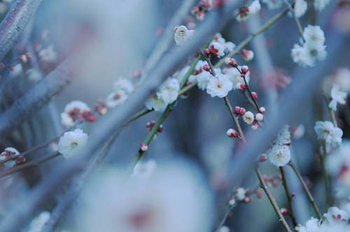 ileftmyheartintokyo:  梅 Plum tree by U3K-Y on Flickr.