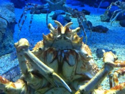 Japanese Spider Crab, Osaka Aquarium, Japan.    Looking a tad alien.