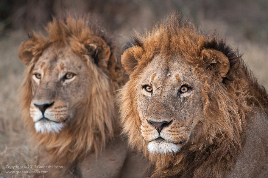 theanimalblog:  The Power of Two. Photo by Grant Atkinson  Majestuosos !! I lov them ^.^
