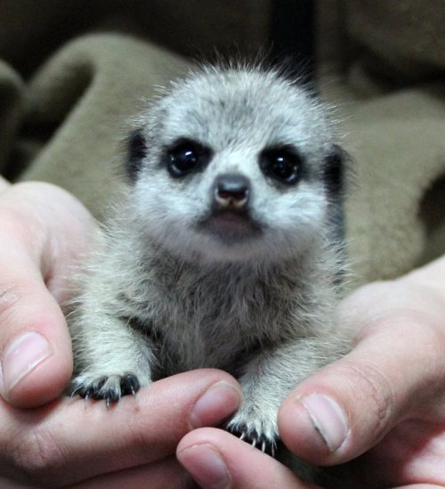 zooborns:  Zoo Keepers Save Orphaned Baby Meerkat at Chessington Zoo  Meet baby Lila. Zoo Keepers at the UK's Chessington World of Adventures Resort have taken the tiny Meerkat under their wing, after she was rejected by her mother. Lila, at 22 days old and weighing 119 grams, which is the equivalent to just under the weight of half a stick of butter, is receiving round the clock attention.  Learn about Lila's story and see more photos at ZooBorns!