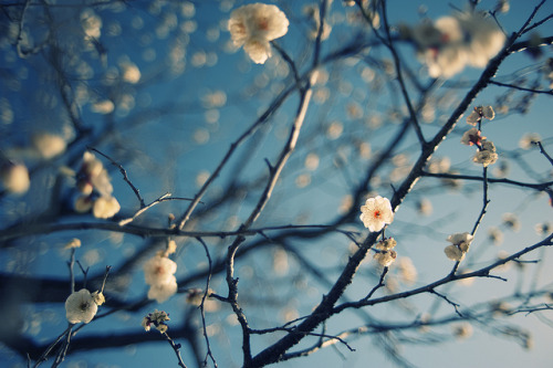 wild ume by konafoto on Flickr.
