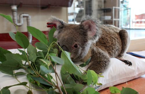 Australia's koala population has been hit hard by two rapidly spreading diseases: chlamydia (a sexually transmitted bacterial infection) and a retrovirus similar to HIV.  Scientists are working to develop vaccines, while lay citizens help care for sick koalas. From our NOVA correspondent Ari Daniel Shapiro: http://ow.ly/kadTk