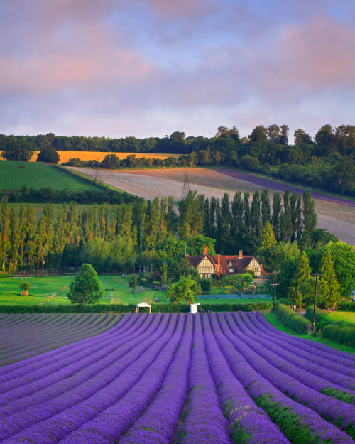 How beautiful is this…. Lavender»» Aromatherapy