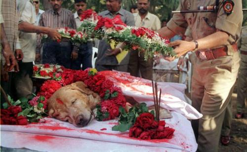 b-ayt:    Rest in Peace Zanjeer.Zanjeer, a golden labrador, unlikely hero of 1993 Mumbai blasts, saved thousands of lives during the serial bomb blasts in the city in March 1993 by detecting more than 3,329 kgs of the explosive RDX, 600 detonators, 249 hand grenades and 6406 rounds of live ammunition. He was buried with full honours during a ceremony attended by senior police officials.via Incredible India on fb  respect  God I fucking love dogs