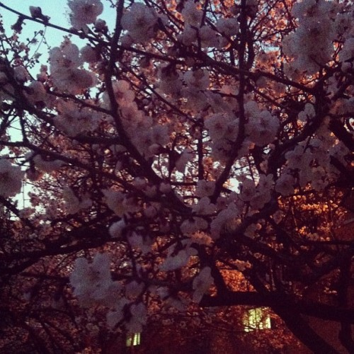 Cherry blossoms are bloomed