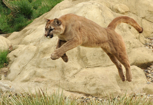 llbwwb:  Puma by Ronald Coulter.