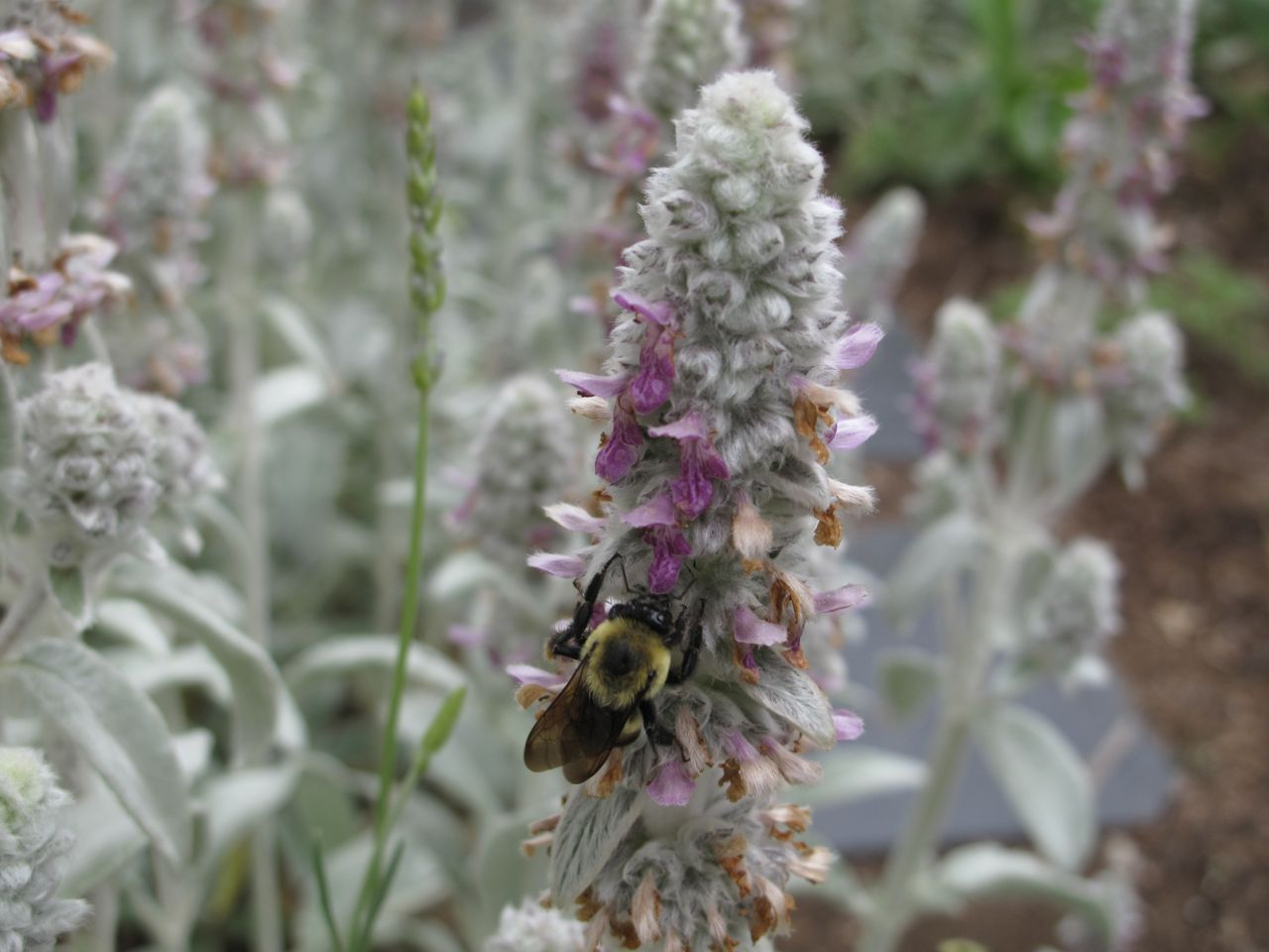 Stachys byzantina, Lamb's Ear, is originally from Turkey, Armenia and Iran, but has been introduced globally as an ornamental. It is in the Lamiaceae family, which also contains most of the herbs you are familiar with, such as rosemary, basil and mint. It is commonly known as the mint family. [x]