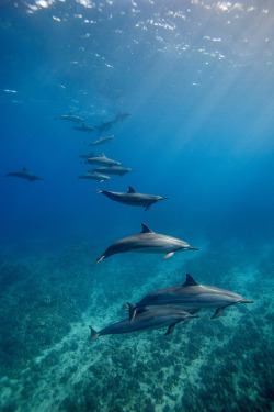 kate-cetologist:  vurtual: Spinner Dolphins (by James R.D. Scott)