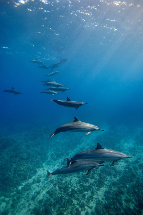 earth-song:  vurtual: Spinner Dolphins (by James R.D. Scott)