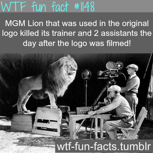 wtf-fun-factss:  MGM lion killed its trainer  MORE OF WTF-FUN-FACTS are coming HERE animales, and weird facts ONLY