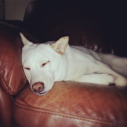 #goodnight world. #shibainu #dogsofinstagram #sleep beckons for Kitsune