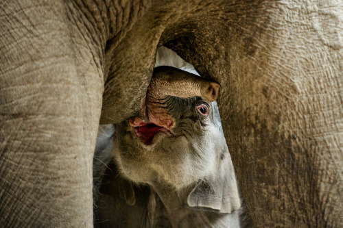magicalnaturetour:  A newborn elephant drinks milk of its mother in the zoo of Copenhagen on February 25, 2013. The unnamed elephant was born early this morning. (TORKIL ADSERSEN/AFP/Getty Images)