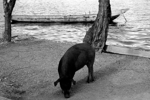 Photo: Pig and Boat, by FrolickingDruid http://bit.ly/10FUBRw