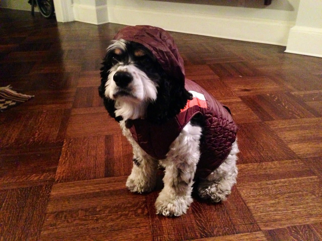 woodythedog:  My spiffy snow coat for snow days in NYC.