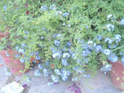 urheritage:  Plumbago. Iraq's answer to forget-me-not.