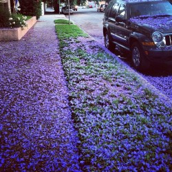 The street I live on is constantly covered in #flowers from the giant tree up front. I love it. Sept went I walk barefoot like everyday and have icky flower stuff on my feetsies.