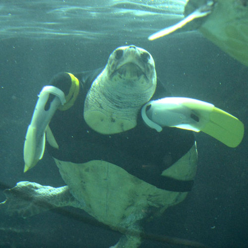 allcreatures:   Yu, a 25-year-old female loggerhead turtle, swims after receiving her 27th pair of artificial front legs at the Suma Aqualife Park in Kobe, Japan. Yu lost her front legs during a shark attack.  Picture: TOSHIFUMI KITAMURA/AFP/Getty Images (via Pictures of the day: 12 February 2013 - Telegraph)
