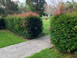 EDIBLE HEDGE  Enclosing a feature in Pioneers Park (Leichhardt, Sydney) is a hedge of the Australian bush food, lillypilly, this species appearing to be Syzygium paniculatum.  The fruit of the lillypilly is magenta coloured and about a centimetre in diameter with a large seed. Other lillypillies (Myrtaceae family) are also edible, their fruits ranging through red, pink and off-white.  The red colouration to the leaves is new growth, a feature that makes the plant popular with landscapers. The plant grows into a medium size evergreen tree with a thick foliage. Here, it has been close planted and is maintained as a hedge, a living fence.