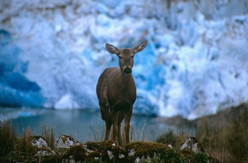 rhamphotheca:  GOOD NEWS - Rare Deer Makes a Come Back in Chile They're a national icon of Chile, but Huemul or South Andean Deer (Hippocamelus bisulcus) are scarcely seen. Scientists estimate only 2,500 remain in the wild. However, a recent study by WCS and partners revealed that the deer are making a comeback in areas of Patagonia, due in part to reduced cattle farming and poaching. (via: Wildlife Conservation Society) Photo by Alejandro Vila