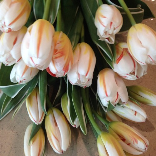 I am in love with these 'happy generation' tulips. The variegated leaves are stunning! #happygeneration #tulips #nofilter #floristsofinstagram #wholefoodsmarket #coloradogrown (at Whole Foods Market)