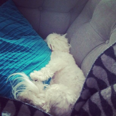 #tired #maltese #lazy #saturday (at 850 Piedmont Avenue - Dakota)