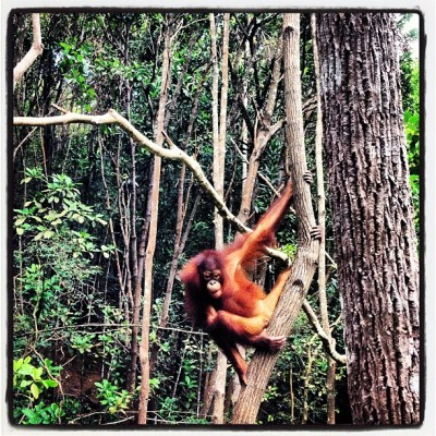 Just saw Orangutans again and they were literally a metre away…AMAZING!!! #borneo #shangrila #orangutans #rainforest  (at Shangri-La's Rasa Ria Resort Nature Reserve)