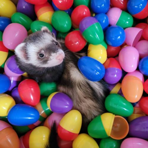 Leftover Easter eggs? That is quite alright with Kirby. : ferrets #ferret#pet#animals