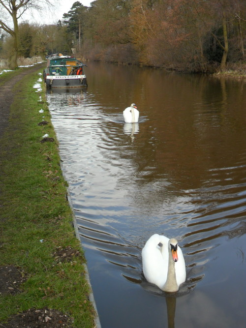 Swans on the Trent and Mersey Canal, Shugborough , Staffordshire, England