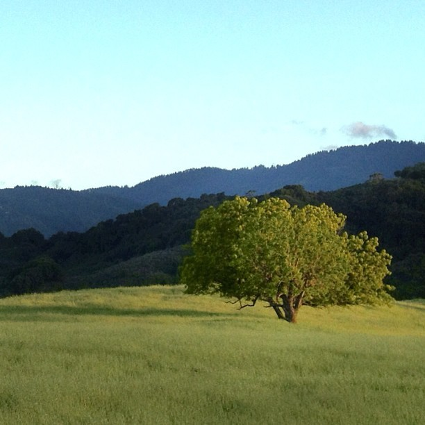 #fremontolder #hike #nature #tree #lonetree #hillside #mountain #sunset #golden #goldenlight #walk #nature_lover #iphone #photography #photooftheday #editoftheday #relax #springbreak #skyline #california #green #blue #sky