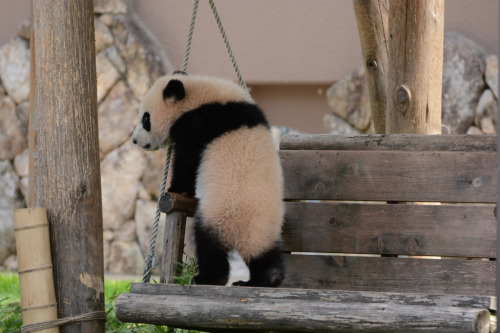 giantpandaphotos:  Yuhin at Adventure World in Wakayama, Japan, on March 23, 2013. © Patrick Harper.