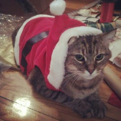 Tis the season! #catsofinstagram #cats #kittytweets #christmas #holiday