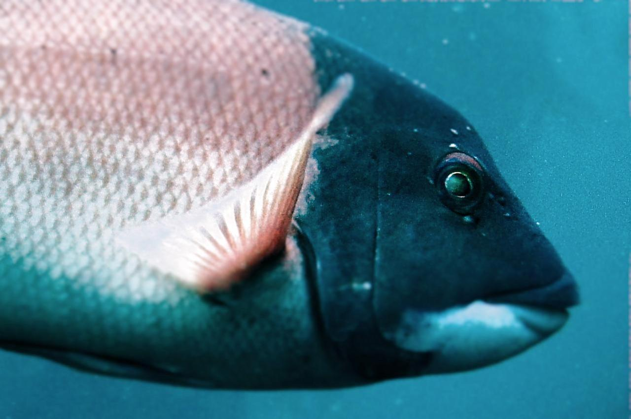 The California sheephead (Semicossyphus pulcher). Love the photo!