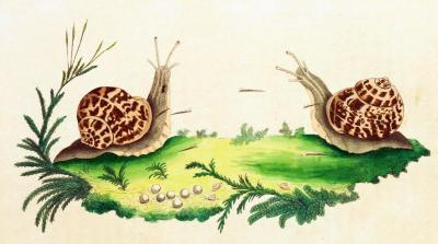 "Reproduction of the Edible Snail (Helix pomatia) Like most gastropods, Helix pomatia is hermaphroditic - that is, they have the reproductive organs of both genders. They still engage in sexual reproduction, and the mating rituals of some land snails are truly bizarre. When two sexually mature snails meet and determine that they're going to mate, ""love darts"" will often be exchanged in a pre-mating ritual. However, these darts are not part of the insemination process; mating takes place after this exchange. Darts don't always hit their target (the other snail), and snails don't always go into this ""battle"" with a dart prepared - snails who have never mated previously cannot create a dart, as the dart sac is not yet primed to lay down the chitin that the darts are comprised of. However, a snail who manages to hit their mate with a dart prior to mating have been shown to cause their mate to create a significantly higher number of eggs, and of those eggs, a higher percentage successfully hatch. The Naturalists Miscellany. George Shaw, 1790."