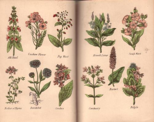 heaveninawildflower:  Pages from my Victorian Herbal. Own scan from original book.