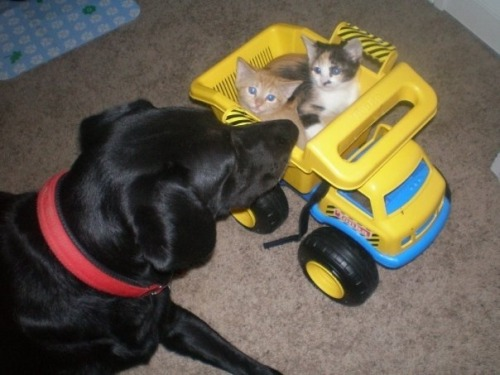 "thefluffingtonpost:  Dog Makes Fortune in Kitten Supply Chain Logistics It may not be the most glamorous job, but someone's got to move kitten freight around the world efficiently, and according to a number of inside sources, the profession is lucrative. Co-workers of a dog named Stella tell The Fluffington Post that the canine easily pulls down a six figure salary, thanks to her unique ability to optimize kitten supply chain logistics. ""She streamlined the whole cargo transfer operation,"" says Ron Keller, who runs freight intake at a warehouse that benefits from Stella's proprietary systems. ""Kittens come in, we load them onto trucks, ship them right out to loving homes. No middle man, no delays, no overages."" Keller explains that before Stella came on, it would often take them twice as long to package feline freight. ""It's so much more efficient now, and we pass the savings on to the customer. Everybody wins."" Via Ask_Me_If_Im_Racist."