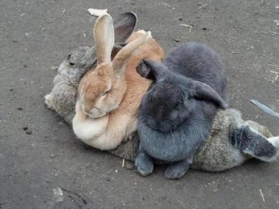 hystericarosie:  here are two bunnies using another bunny as a couch