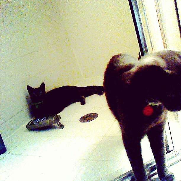 My cats love to hang out in the show…all in the body wash lmao #cats #roaming #castle #shower