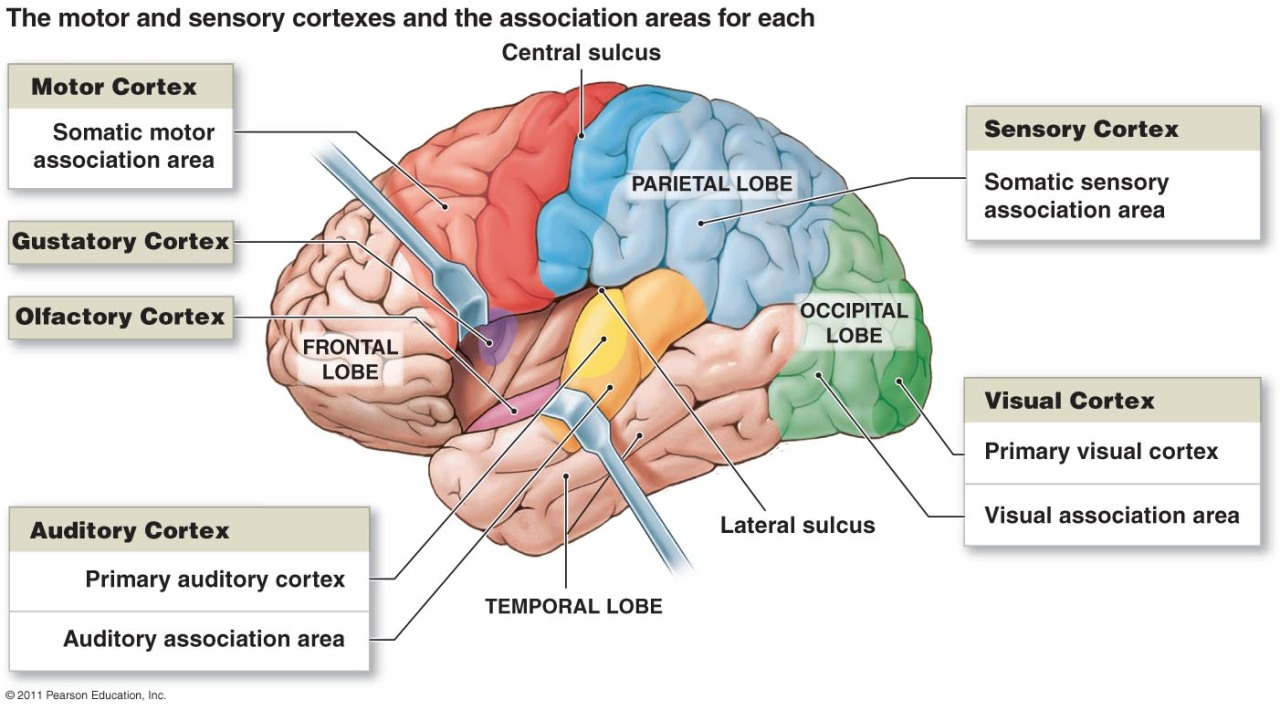 neuroanatomyblog:  Functional Areas Diagram I. Motor Areas (posterior part of the frontal lobes) Primary motor cortex - precentral gyrus in the frontal lobe Large neurons (pyramidal cells) allow conscious control of movement of skeletal muscles The pyramidal cells' long axons from voluntary motor tracts called pyramidal (corticospinal) tracts Motor areas have been spatially mapped = somatotropy.  Premotor cortex - anterior to the precentral gyrus in the frontal lobe Regions controls learned motor skills that are repeated or patterned Also coordinates the movements of muscles simultaneously and\or sequentially by sending activating     impulses to the primary motor cortex  Broca's area - anterior to the premotor area Involved in directing motor speech.  Frontal eye field - anterior to the premotor cortex and superior to Broca's area   Controls voluntary movement of eyes.  II. Sensory Areas (parietal, temporal, and occipital lobes) Primary somatosensory cortex - postcentral gyrus of parietal lobe (immediately behind primary motor cortex) Neurons receive info (from sensory receptors, skin, and muscles) and identifies body region being stimulated Endows spatial discrimination.  Somatosensory association area - lies posterior to the primary somatosensory cortex Integrate and analyze somatic sensory inputs (e.g. temperature and pressure) into comprehensive evaluation.  Visual areas - occipital lobes contain primary visual cortex (receive information from retina) and visual association area (interprets information from retina). Auditory areas - temporal lobes contain primary auditory cortex (receives impulses from inner ear) and auditory association area (interprets sound). Olfactory cortex - temporal lobe in region called the uncus; enables conscious awareness of odors. Gustatory cortex - parietal lobe deep to temporal lobe; involved in perception of taste. III. Association Areas Somatosensory cortex - posterior to the primary somatosensory cortex Somatosensory cortex and each special sensory area have nearby association areas with which they communicate The association areas, in turn, communicate with the motor cortex and with other sensory association areas to analyze, recognize, and act on sensory inputs.  Prefrontal cortex - anterior portions of frontal lobe Involved with intellect and complex learning (cognition) and personality Tumors may lead to personality disorders - prefrontal lobotomy are performed in severe cases of mental illness.  Gnostic area - undefined area in temporal, occipital, and parietal lobes Only one hemisphere Receives input from all sensory association areas and stores complex memory patterns associated with sensation Sends assessment of sensations to prefrontal cortex which adds emotional overtones Injury to gnostic area causes one to become an imbecile - interpretation to various sensations/stimuli lost.  Language areas - found in Wernick's area of temporal lobe of one hemisphere (usually left) Involved in interpretation of language.