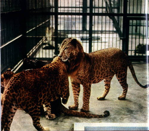 chienquiroule:  Leopon picture. (leopard x lioness hybrid) I am 99% sure this a pic I've scanned years ago from an oldie science mag belonging to my grand-father. He used to have loads of issues of Sciences et Vie, starting from the 30's, and I had browsed them in my teens, searching for any mention of homosexuality and transsexuality. (Or cool animal stuff) I like this pic because there aren't many color pics of leopons around, and for once he doesn't look fat. I don't remember if the other animals in the pics are female leopons siblings or average leopards.