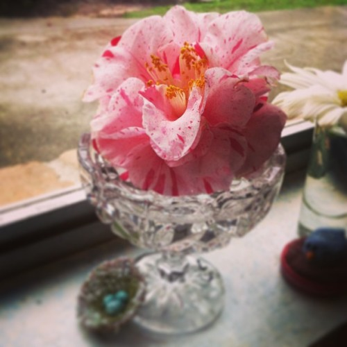 Candy striped #Camellia. #springtime #flower #vintage