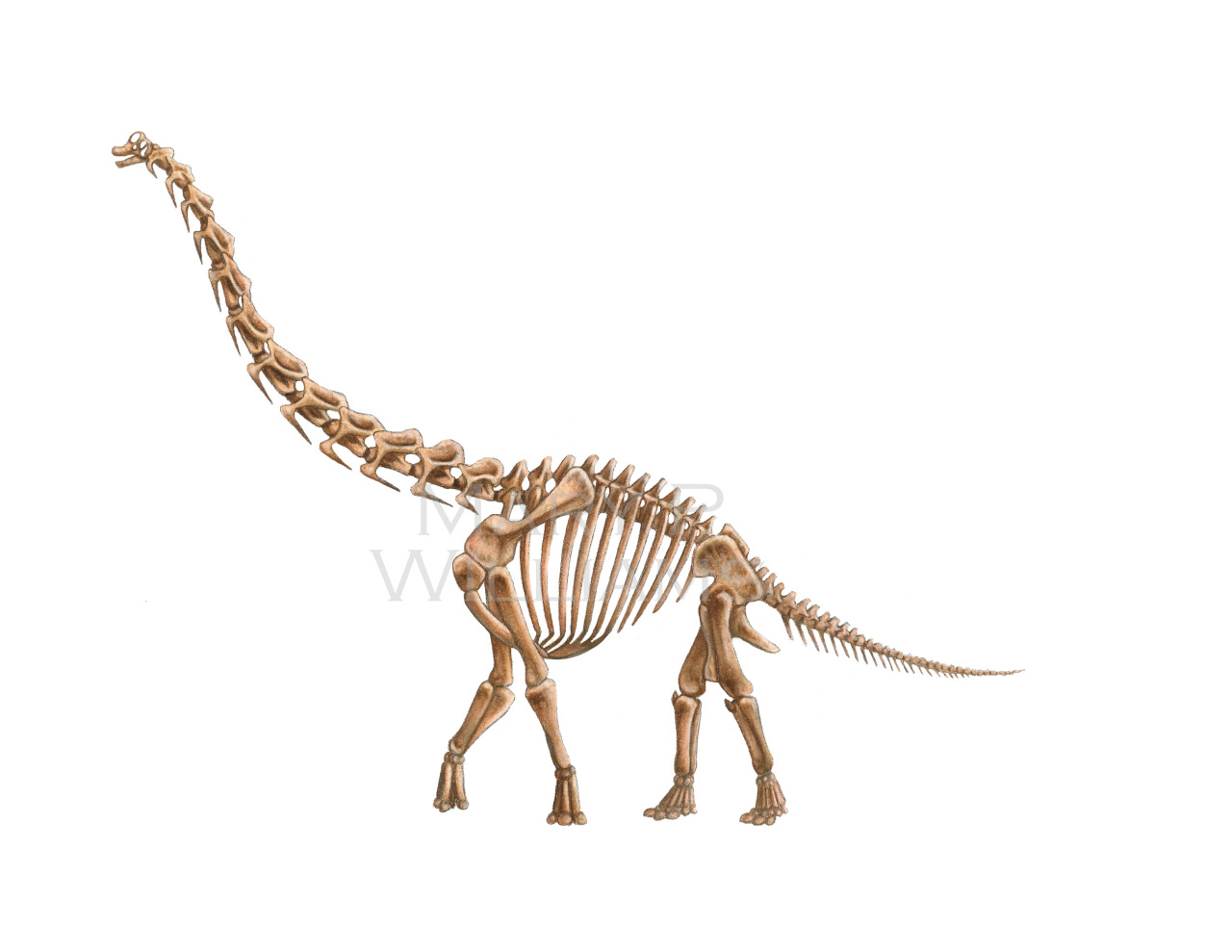 marywilliams:  My Brachiosaurus reconstructions. The musculature is based heavily off of our extant friend the giraffe. I'll finish this series off with the skin—I'll hopefully start and finish it today and have it up here sometime next week. :)